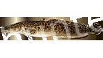 Прогноз клёва рыбы Налим