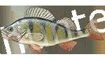 Прогноз клёва рыбы Окунь