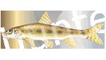 Прогноз клёва рыбы Пескарь