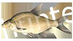 Прогноз клёва рыбы Подлещик