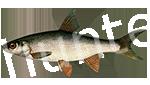 Прогноз клёва рыбы Подуст