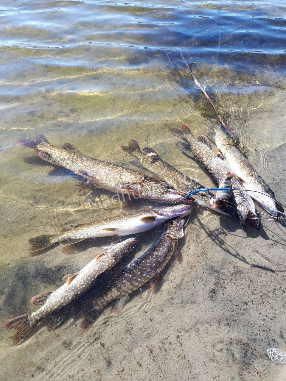 Клев рыбы на воткинском водохранилище