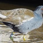 Птица камышница