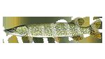 Прогноз клёва рыбы Щука