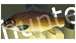Прогноз клёва рыбы Сазан