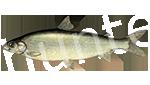 Прогноз клёва рыбы Сиг