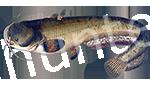 Прогноз клёва рыбы Сом