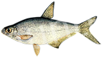 Прогноз клёва рыбы Сопа