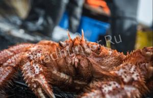 Спасение сахалинских крабов