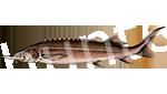Прогноз клёва рыбы Стерлядь