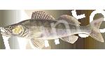 Прогноз клёва рыбы Судак