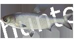 Прогноз клёва рыбы Толстолобик