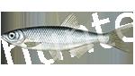 Прогноз клёва рыбы Уклейка
