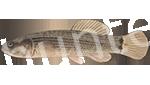 Прогноз клёва рыбы Умбра