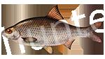 Прогноз клёва рыбы Вобла