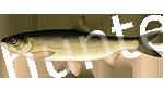 Прогноз клёва рыбы Вырезуб