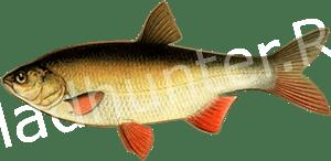 Прогноз клёва рыбы Язь