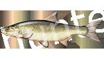 Прогноз клёва рыбы Жерех