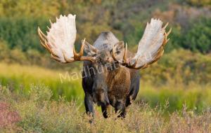 За убитого лося браконьер выплатил штраф