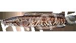 Прогноз клёва рыбы Змееголов