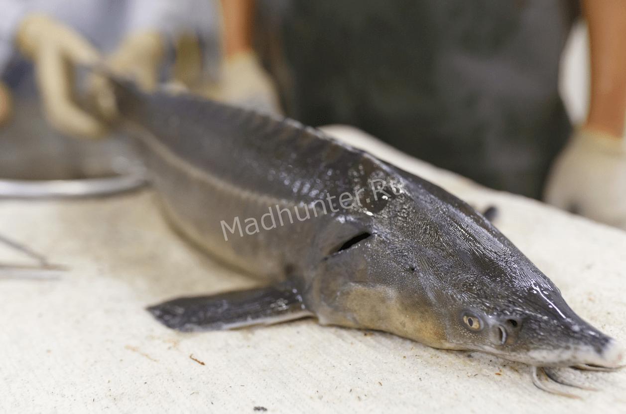 браконьеры орудуют на реке Иртыш