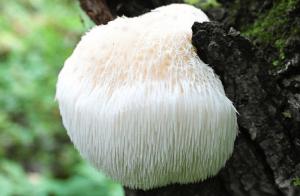 Найден редчайший гриб – ежовик