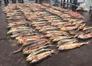 Инспекторы на Средней Волге задержали партию в полтонны осетровых пород рыбы