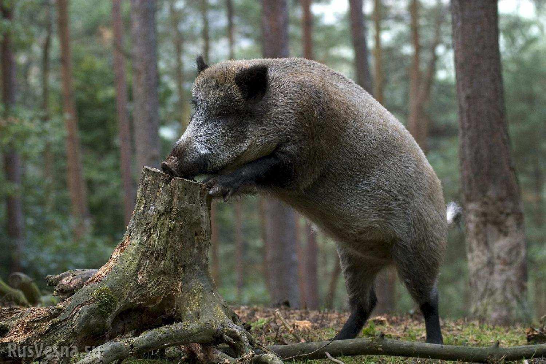 «Ярость кабанов» - как ярославские грибники на деревьях спасались