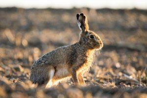 В 45 угодьях Ставропольского края было запрещено отстреливать зайцев-русаков