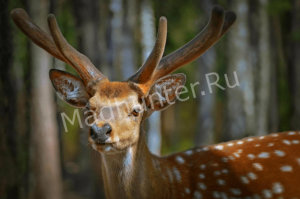 Браконьеры выплатят больше 1 000 000 рублей, за то, что охотились в заповеднике «Земля леопарда»-min