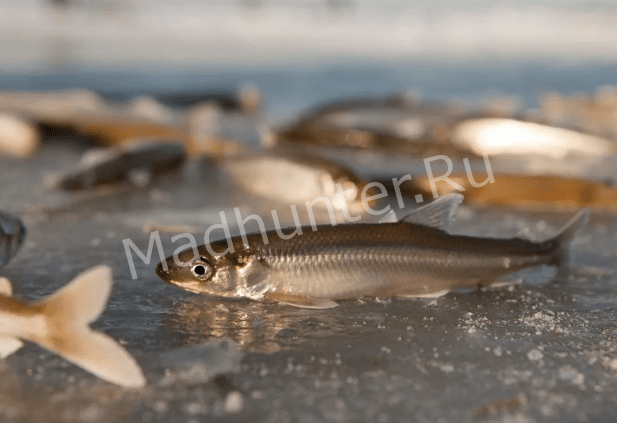 Добыча рыбы корюшки оказалось слишком дорогим удовольствием для страны-min (1)