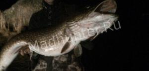 ак в Питере рыбак со щукой боролся-min