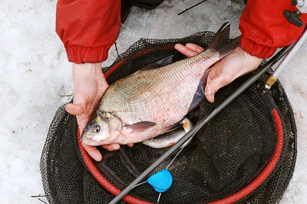 Ловля леща зимой образ жизни рыбы