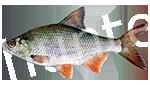 Прогноз клёва рыбы Тарань