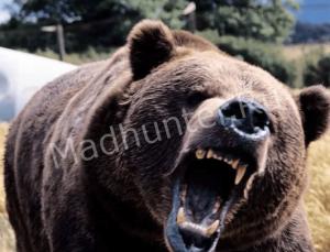 Ямальские медведи выходят к людям