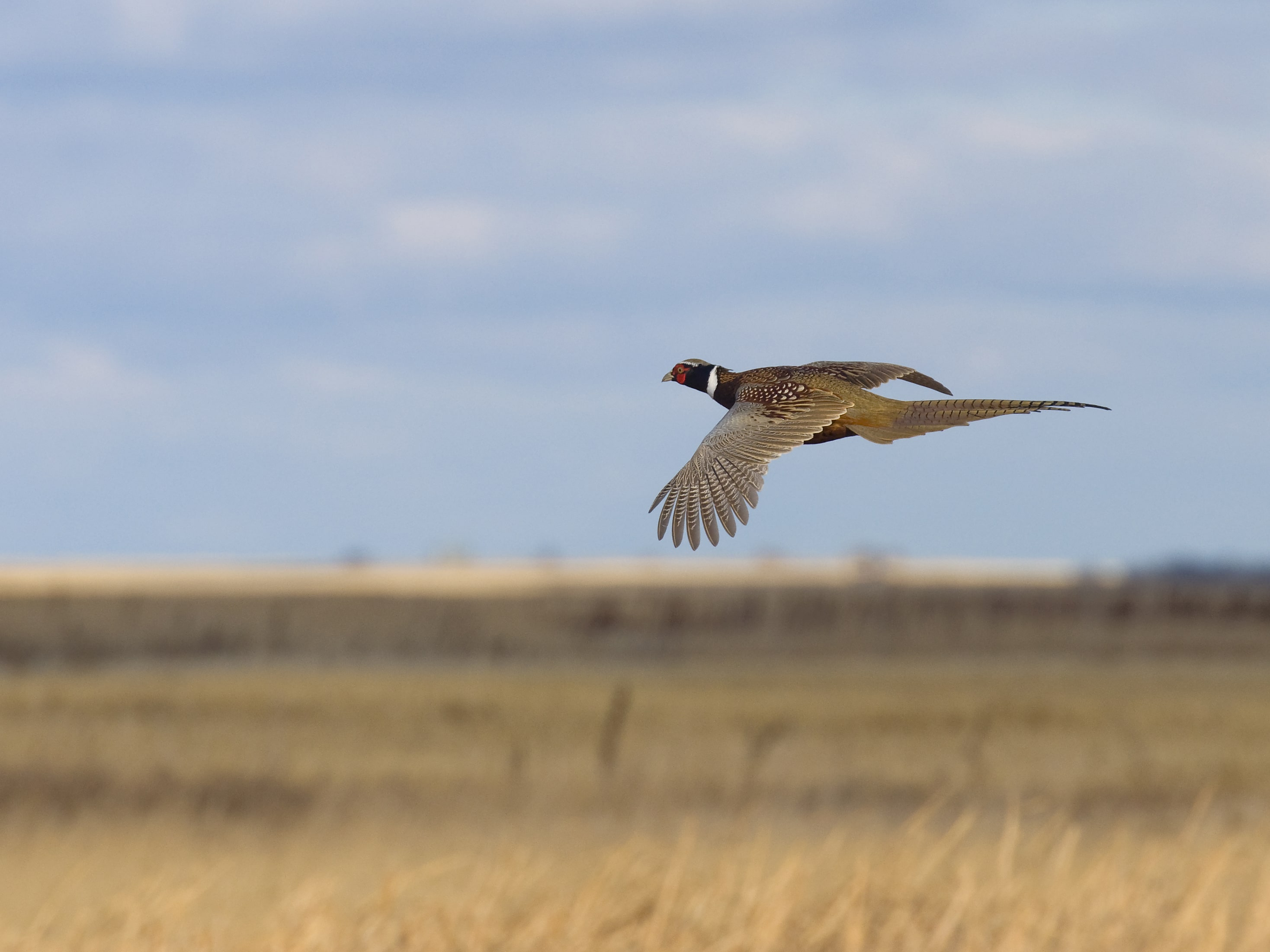 Ареал, места обитания птицы фазан