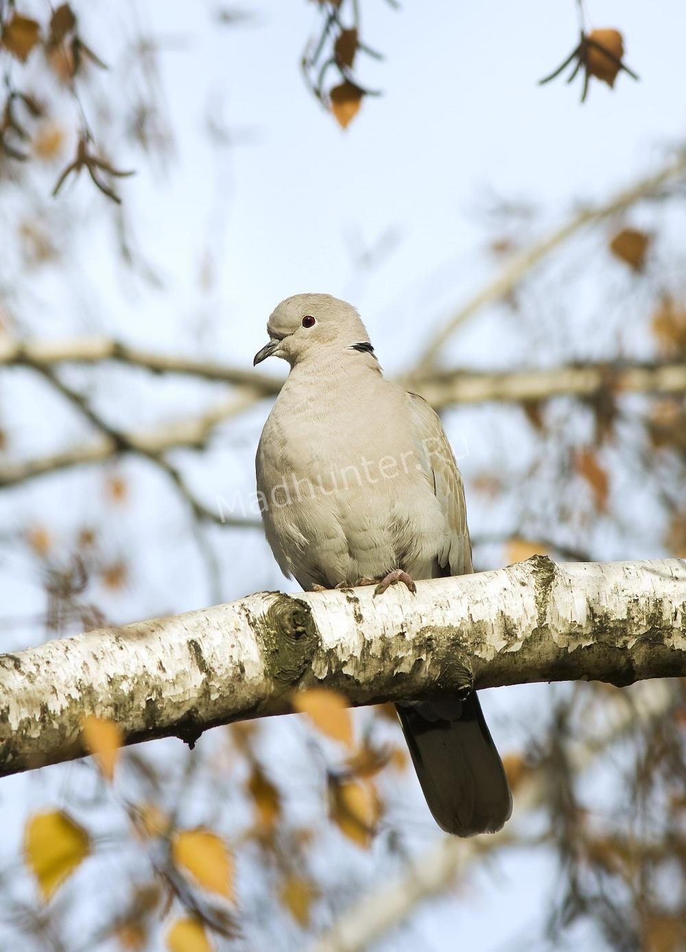 Описание голубя