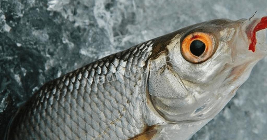 Плотва по первому льду – секреты рыбной ловли в зимний сезон