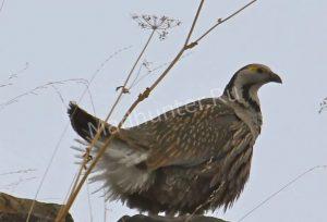 Птица Улар