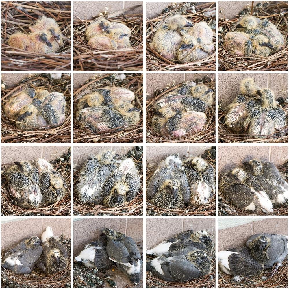 Размножение голубей и горлиц