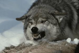 В Псковской области зафиксирован очаг бешенства диких животных