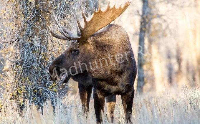 В Твери ищут браконьера, который убил лося-min (1)