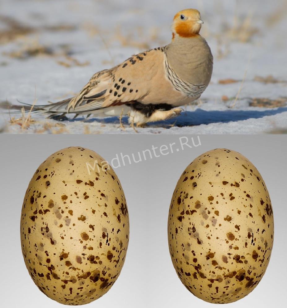 Размножение птицы Саджа