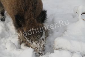 500 тысяч рублей за убитого кабана