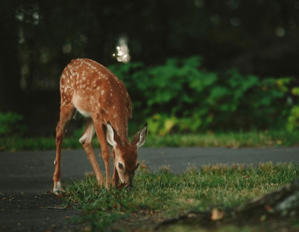 Чем питается олень