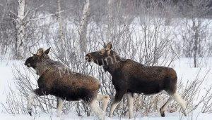 Охотник, во время охоты потерял голову животного, за что выплатит 820 000 рублей, в качестве штрафа