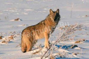 Охотникам из Коми разрешат охоту на волков: количество волков резко возросло