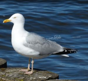 Описание чайка