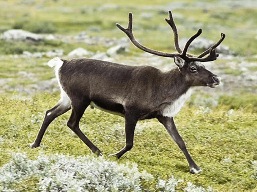 Описание северного оленя