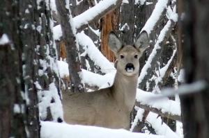 Петельный лов животных, как браконьерство